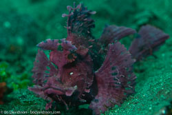 BD-161029-Alor-3591-Rhinopias-eschmeyeri.-Condé.-1977-[Eschmeyer's-scorpionfish].jpg